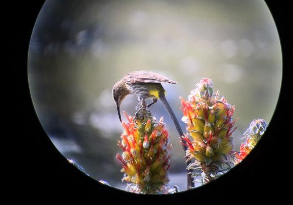 Cape Sugarbird - Tonia Cochran - Inala Nature Tours