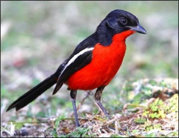 Crimson-breasted Shrike by Adam Riley