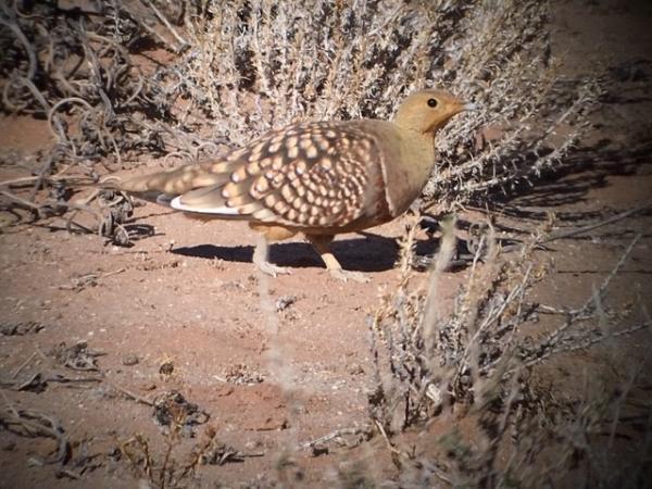 Namacqua Sandgrouse - Tonia Cochran - Inala Nature Tours