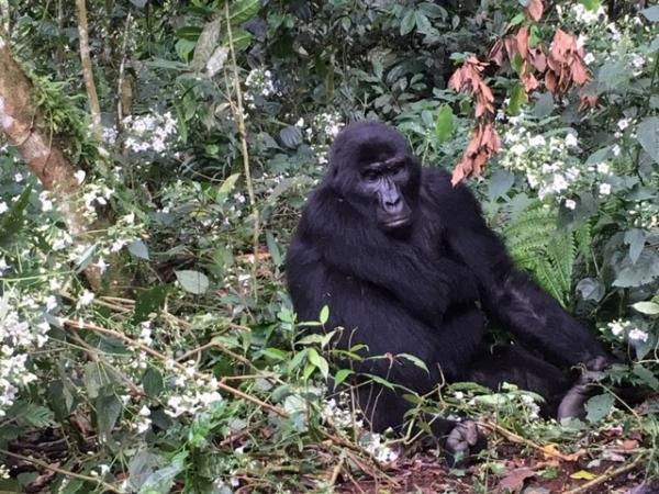 Gorilla - Uganda - Tonia Cochran - Inala Nature Tours
