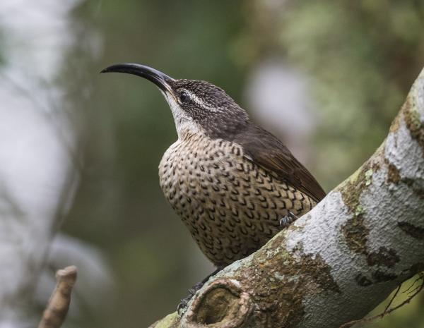 Paradise Riflebird - Inala Nature Tours - Photographer Dennis Braddy