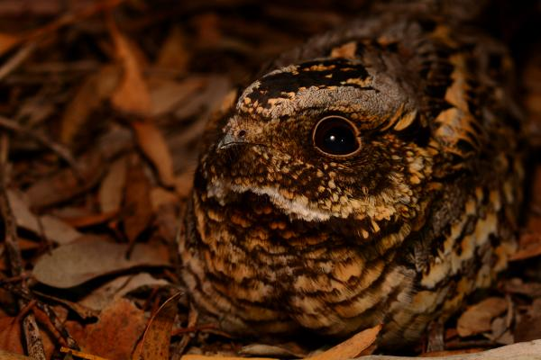 Spotted Nightjar - Inala Nature Tours - Ian Bool