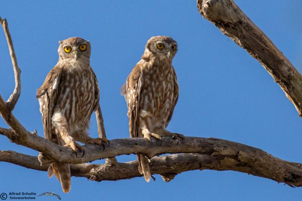 Barking Owl - Alfred Schulte - Inala Nature Tours