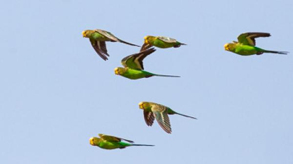 Budgerigars - Alfred Schulte - Inala Nature Tours