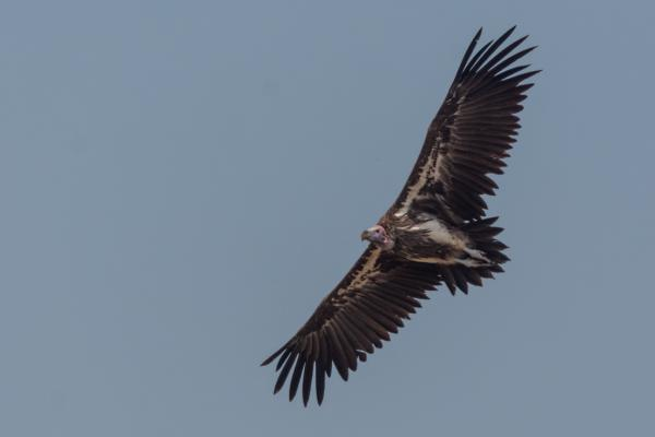 Lappet-faced Vulture - Bronwen Scott - Inala Nature Tours