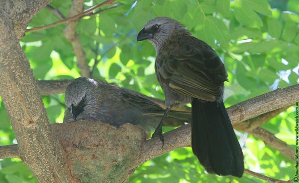 Apostlebirds - Johnathan Munroe - Inala Nature Tours