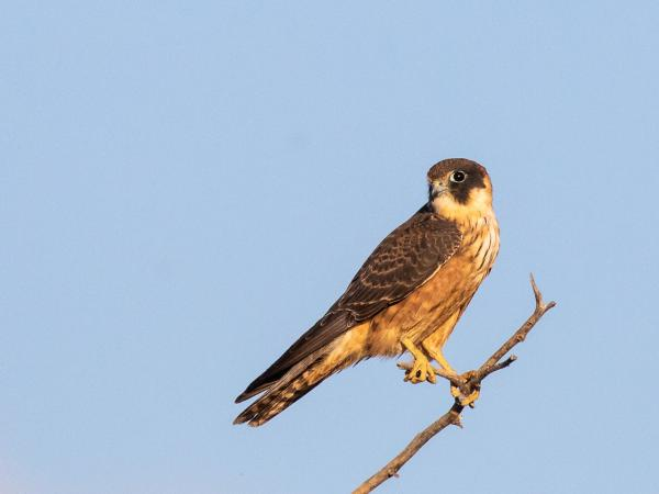 Australian Hobby - Alfred Schulte - Inala Nature Tours