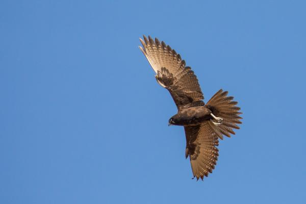 Brown Falcon - Alfred Schulte - Inala Nature Tours
