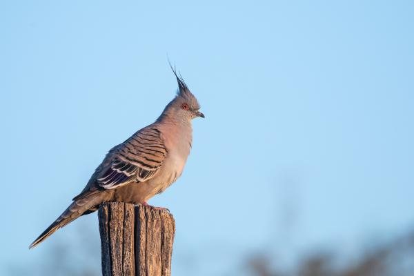 Crested Pigeon - Alfred Schulte - Inala Nature Tours