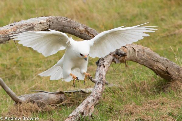 Grey Goshawk (White Morph) - Andrew Browne - Inala Nature Tours
