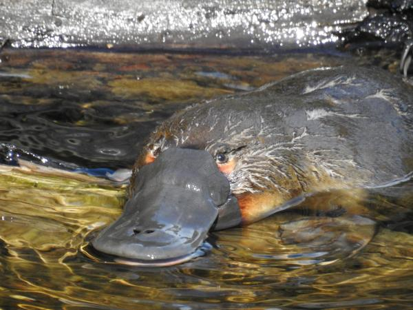 Platypus - Inala Nature Tours - Cat Davidson