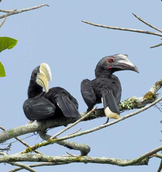 Black Hornbill - M. Hendry - Inala Nature Tours