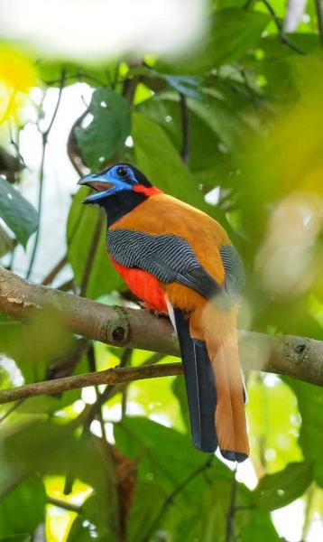 Red-naped Trogon - M. Hendry - Inala Nature Tours