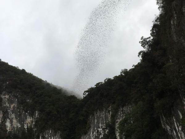 Bats pouring out of cave - Tonia Cochran - Inala Nature Tours