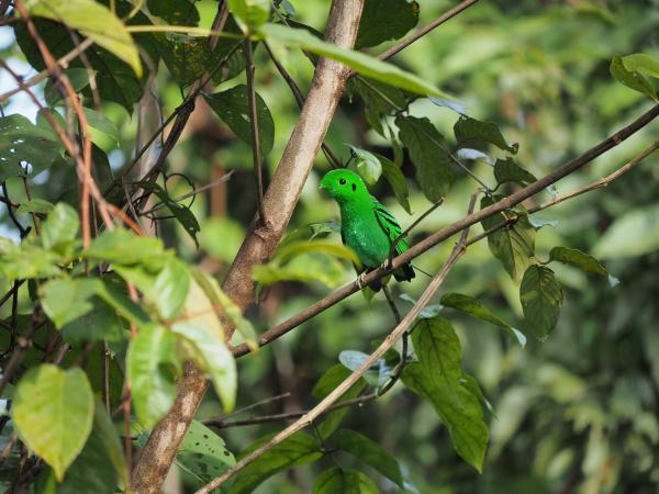 Green Broadbill - M. Hendry - Inala Nature Tours