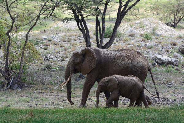 African Elephant  - W Wachira - Inala Nature Tours