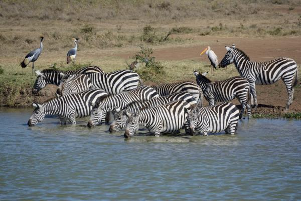 Common Zebra, Yellow-billed Stork, Grey-crowned Crane, Egyptian Goose - W Wachira - Inala Nature Tours
