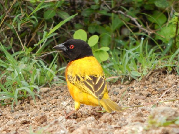 Golden-backed Weaver - W Wachira - Inala Nature Tours