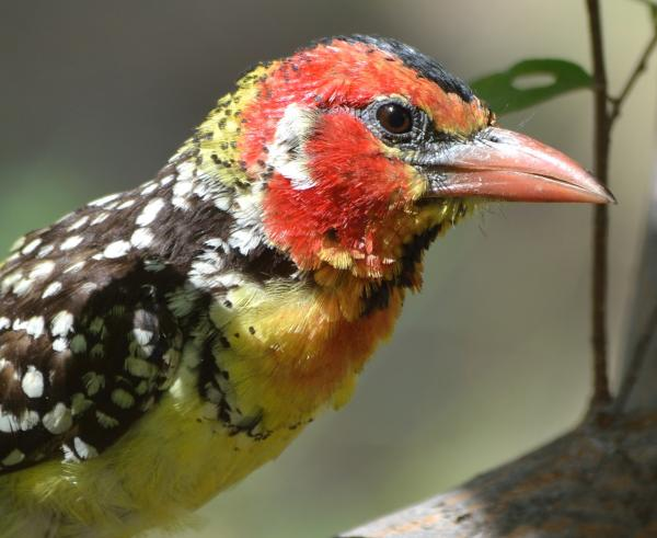 Red and Yellow Barbet - W Wachira - Inala Nature Tours