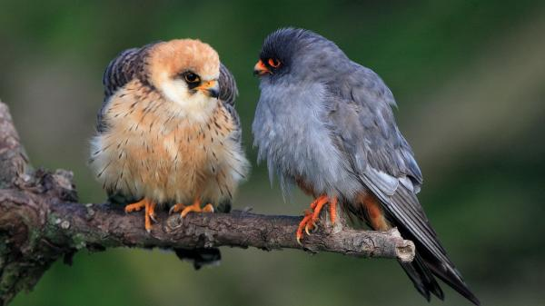 Red footed Falcon - J. Dempsey - Inala Nature Tours
