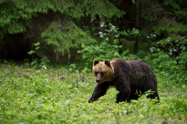 Brown Bear - Tarmo Sammal - Inala Nature Tours