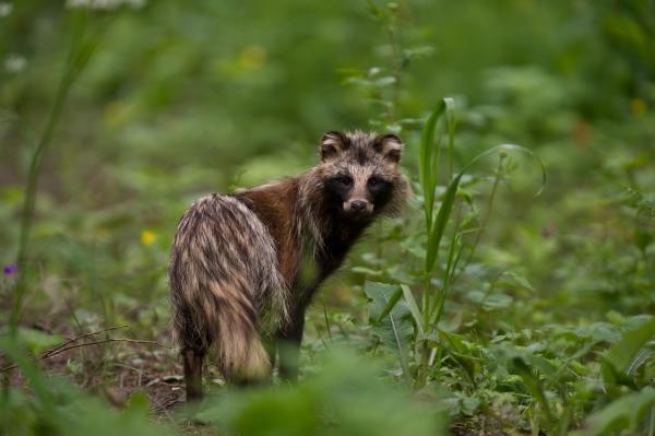 Racoon Dog - Tarmo Sammal - Inala Nature Tours