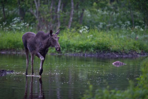 Young Elk - Tarmo Sammal - Inala Nature Tours