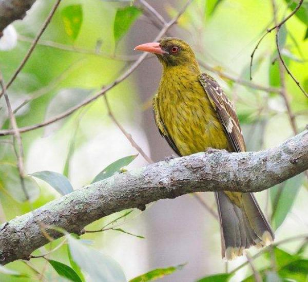 Figbird - Photograph by Pat Kelly - Inala Nature Tours