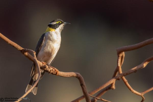 Black-chinned Honeyeater - Alfred Schulte - Inala Nature Tours