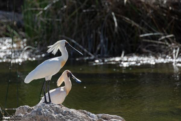 Royal Spoonbill - Alfred Schulte - Inala Nature Tours