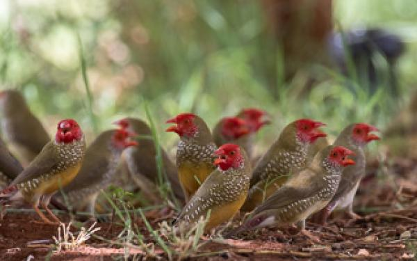 Star Finches - Alfred Schulte - Inala Nature Tours