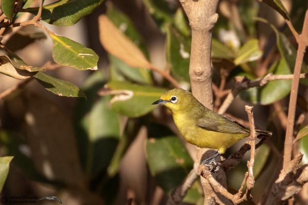 Yellow White-eye race balstoni - Alfred Schulte - Inala Nature Tours
