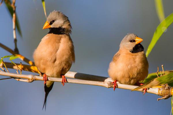 Long-tailed Finch - Alfred Schulte - Inala Nature Tours
