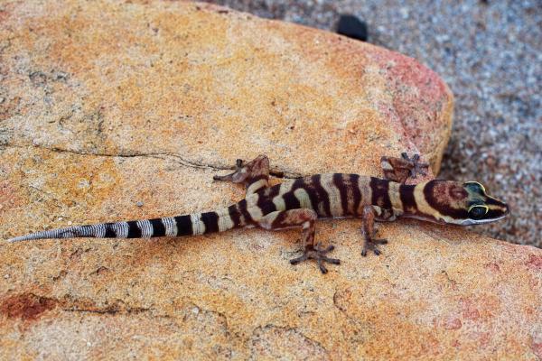 Gracile Velvet Gecko - Rod Hartvigsen - Inala Nature Tours