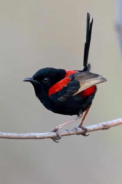 Red-backed Fairy-wren - Rod Hartvigsen - Inala Nature Tours