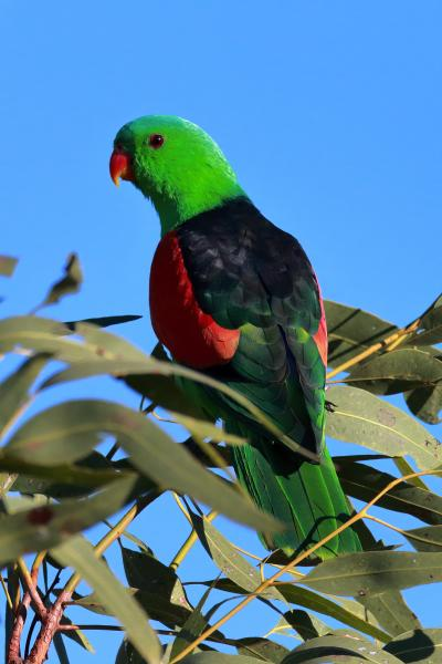 Red-winged Parrot - Rod Hartvigsen - Inala Nature Tours