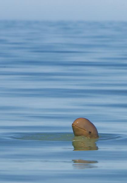 Snubfin Dolphin - Rod Hartvigsen - Inala Nature Tours