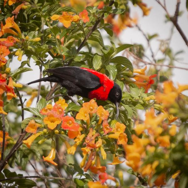 Red Collared Myzomela - Bronwen Scott - Inala Nature Tours