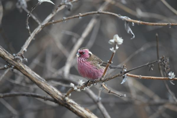 Chinese White-browed Rosefinch - Philip He - China Sichuan - Inala Nature Tours