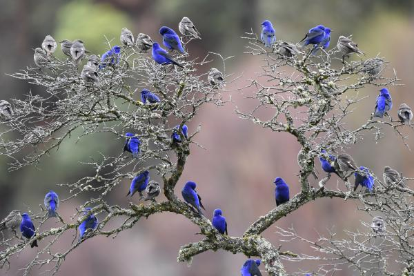 Grandala - Philip He - China Sichuan - Inala Nature Tours