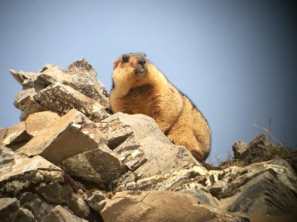 Himalayan Marmot - Tonia Cochran - China Sichuan - Inala Nature Tours