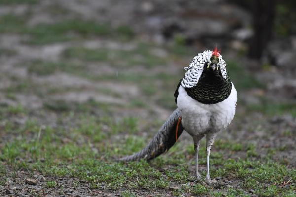 Lady Amherst's Pheasant - Philip He - China Sichuan - Inala Nature Tours