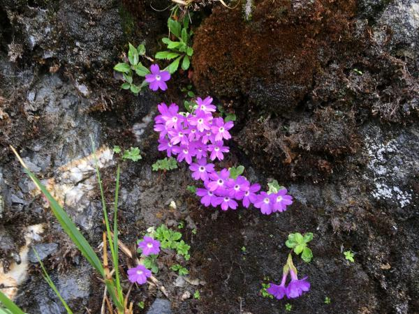 Native Primula - Tonia Cochran - China Sichuan - Inala Nature Tours