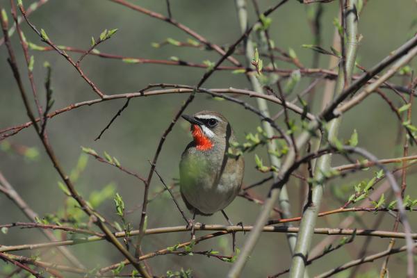 Siberian Rubythroat - Bella Zhang - China Sichuan - Inala Nature Tours