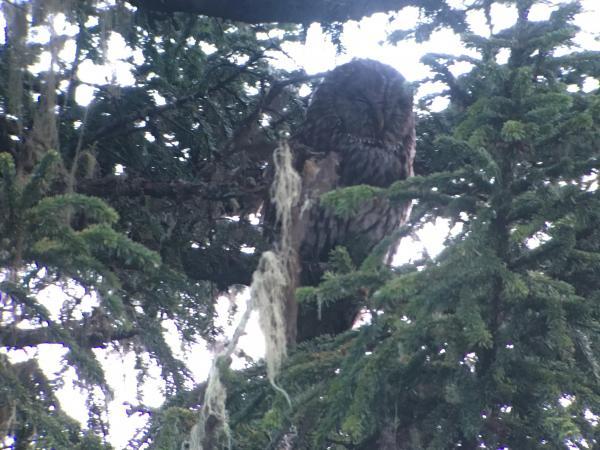 Sichuan Wood-owl - Tonia Cochran - China Sichuan - Inala Nature Tours