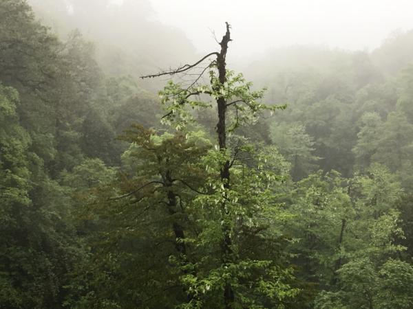 Tibetan Dove Tree - Tonia Cochran - China Sichuan - Inala Nature Tours