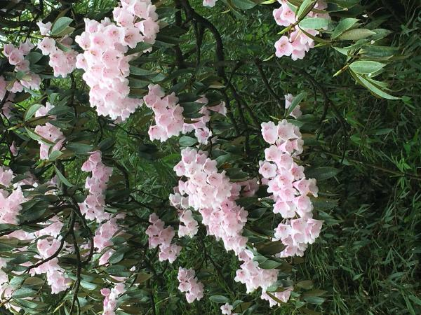 Wild Rhododendron - Tonia Cochran - China Sichuan - Inala Nature Tours