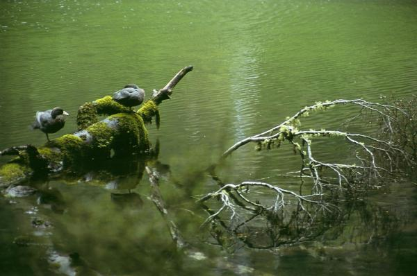 Blue Duck - Mark Hanger - Inala Nature Tours