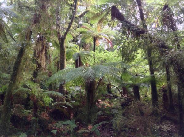 Dicksonia squarrosa and Cyathea smithii - Mark Hanger - Inala Nature Tours