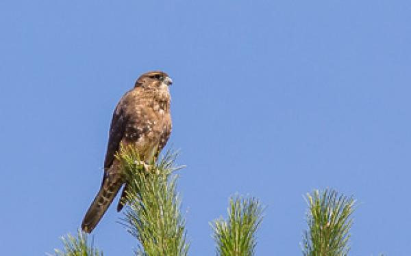 NZ Falcon - Alfred Schulte - Inala Nature Tours